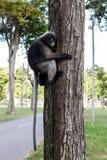 Dusky Leaf Monkey Stock Photography