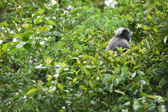 Dusky leaf monkey in nature Royalty Free Stock Photography