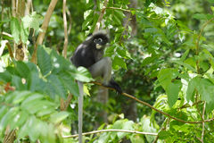 Dusky leaf monkey in nature Royalty Free Stock Photos