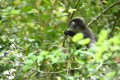 Dusky leaf monkey in nature Stock Images