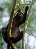 Dusky leaf monkey, Penang, Malaysia Royalty Free Stock Image