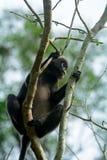 Dusky leaf monkey, Penang, Malaysia Stock Images