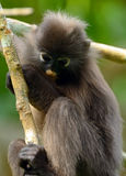 Dusky leaf monkey, Penang, Malaysia Royalty Free Stock Photography