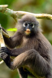 Dusky leaf monkey, Penang, Malaysia Stock Photo