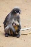 Dusky Leaf Monkey. With it's baby Stock Photos