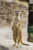 Meerkat. Looking around and checking out it Stock Images