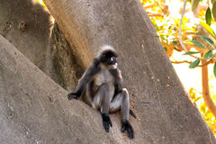 Dusky Leaf Monkey - Semnopithecus obscurus. Sitting in a Morton Bay Fig Tree Royalty Free Stock Photography
