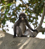 Dusky Leaf Monkey. Sitting relaxed in tree Royalty Free Stock Images