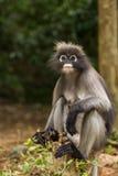 Dusky leaf monkey. Sitting on a tree stump Royalty Free Stock Images