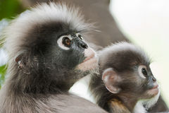 Dusky Leaf Monkey / Spectacled Langur Stock Photo
