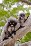 Dusky Leaf Monkey / Spectacled Langur. On tree Royalty Free Stock Photography