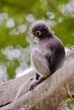 Dusky Leaf Monkey / Spectacled Langur Royalty Free Stock Photography