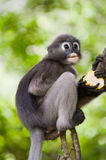 Dusky Leaf Monkey / Spectacled Langur Stock Images