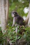 Dusky Leaf Monkey / Spectacled Langur Stock Photos