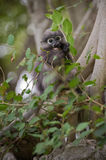 Dusky Leaf Monkey / Spectacled Langur Stock Image