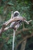 Dusky leaf monkey. Dusky leaf monkey, Spectacled Langur in Thailand Stock Images