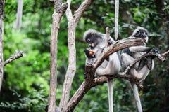 Dusky leaf monkey. Dusky leaf monkey, Spectacled Langur in Thailand Stock Photography