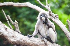 Dusky leaf monkey. Dusky leaf monkey, Spectacled Langur in Thailand Stock Image