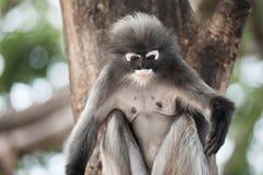 Dusky leaf monkey. Dusky leaf monkey, Spectacled Langur in Thailand Royalty Free Stock Image
