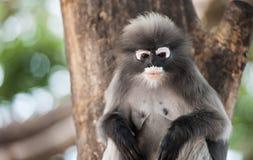 Dusky leaf monkey. Dusky leaf monkey, Spectacled Langur in Thailand Royalty Free Stock Photo