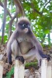 Dusky leaf monkey in Thailand Royalty Free Stock Photography