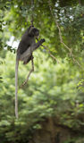 Dusky leaf monkey. Royalty Free Stock Photos