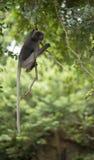Dusky leaf monkey. Royalty Free Stock Photos