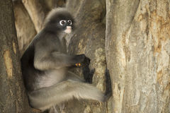 Dusky leaf monkey. Stock Images