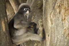 Dusky leaf monkey. Stock Images