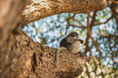 Dusky leaf monkey. Trachypithecus obscurus also known as spectacled langur sits on a massive tree branch with a brown bark. Prachuap Khiri Khan, Thailand stock photo