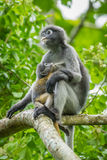 Dusky Leaf-monkey Royalty Free Stock Image