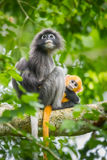 Dusky Leaf-monkey Royalty Free Stock Images