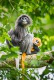 Dusky Leaf-monkey Royalty Free Stock Images