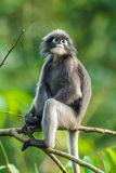 Dusky leaf monkey. (Trachypithecus obscurus) in Kengkrajarn Nartionnal Park of Thailand royalty free stock photos