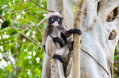 Dusky leaf monkey or Trachypithecus obscurus on tree Royalty Free Stock Images