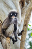 Dusky leaf monkey or Trachypithecus obscurus on tree Royalty Free Stock Image