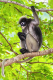 Dusky leaf monkey or Trachypithecus obscurus on tree Stock Image