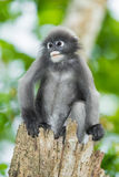 Dusky Leaf-monkey Stock Photography