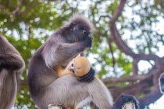 Dusky leaf monkey and young dusky leaf monkey Royalty Free Stock Image