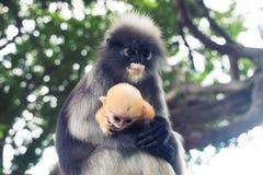 Dusky leaf monkey and young dusky leaf monkey Royalty Free Stock Photos