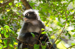 Dusky leaf monkey Royalty Free Stock Photography