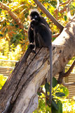 Dusky Leaf Monkeys in a Fig Tree Royalty Free Stock Photo