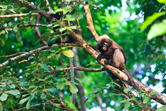 Dusky leaf monkeys sitting in a tree Stock Photos