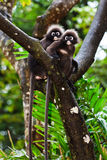 Dusky leaf monkeys sitting in a tree Stock Image