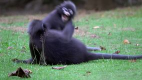 Dusky Leaf Monkeys Trachypithecus obscurus Playing on the Ground at Angthong National Marine Park in Thailand. Shot with a Sony RX10 IV fps 59,94 4k stock footage