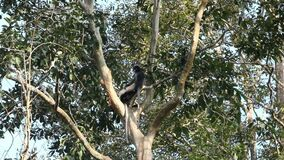 Dusky Leaf Monkeys On Tree Branch. Two Dusky leaf monkeys aka Dusky langur, Trachypithecus obscurus, are perching on tree branches at Kaeng Krachan National Park stock footage