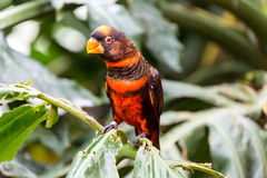 Dusky Lory Royalty Free Stock Image