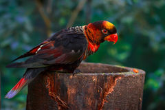 Dusky lory (Pseudeos fuscata) stock photo