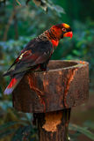 Dusky lory (Pseudeos fuscata) Royalty Free Stock Images