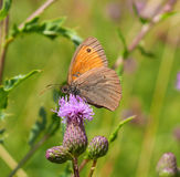 Dusky meadow brown Stock Image